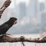 black parrot cockatoo p o r t r a i t